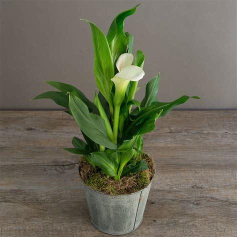 how to plant a calla calla plant