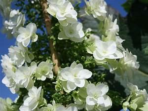 Welche Pflanzen Passen Gut Zu Hortensien : eichenblatt hortensie royalty collection hovaria ~ Lizthompson.info Haus und Dekorationen