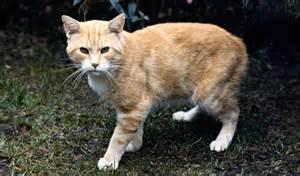 minx cat manx cat breed information