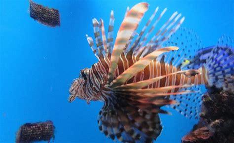 comment cuisiner la rascasse le poisson ou rascasse bientôt dans toutes les assiettes caribéennes toute l 39 actualité