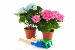 Hortensie Umpflanzen Im Topf : hortensien auspflanzen so gehen sie am besten vor ~ Orissabook.com Haus und Dekorationen