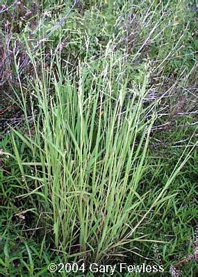 wetland plants of wisconsin leersia oryzoides rice cutgrass