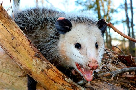 Possum Images Possums And Ancient Part 1 Of 2 The Outdoors