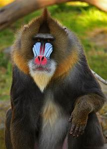 5 Interesting Facts About Mandrills   Hayden's Animal Facts