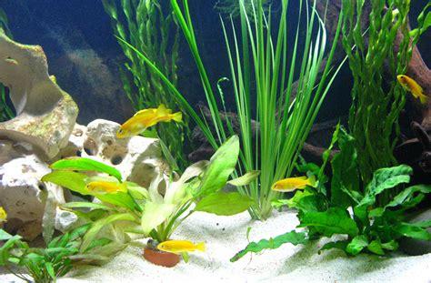 aquarium pflanzen düngen pflanzen im malawi aquarium was ist zu beachten