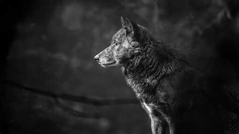 Wallpaper Black Wolf Background by Wallpaper Wolf Black 4k Animals 19544