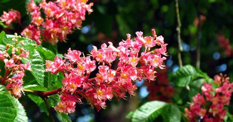 fiori di bach e ansia fiori di bach chestnut per l ansia