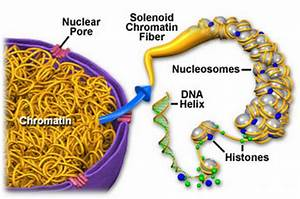 Diagram Of Chromatin