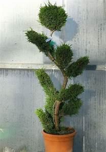 Zypresse Wird Braun : thuja in form schneiden lebensbaum in form schneiden thuja smaragd schneiden thuja thujen ~ Orissabook.com Haus und Dekorationen