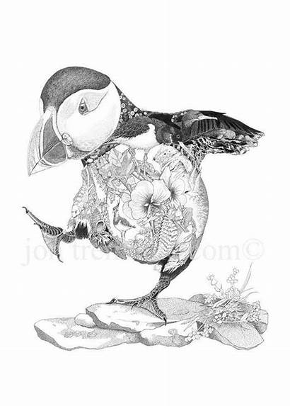 Puffin Tremaine Jon Drawings Prints Cornwall Ink