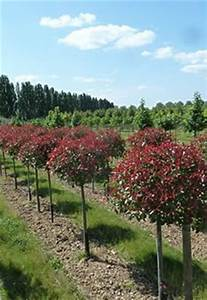 Red Robin Baum : red robin standard photinia with a 150cm wide topiary head planted in a 63cm wide polystone ~ Frokenaadalensverden.com Haus und Dekorationen