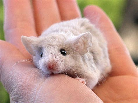 show me pictures of mice fancy pet mouse and rat breeder in sydney blue mountains zen mousery
