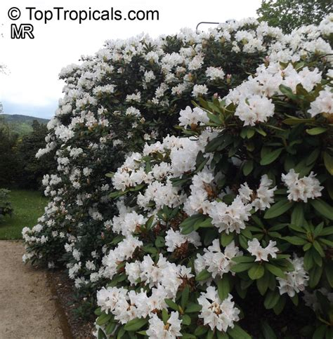 rhododendron trees for sale rhododendron hybrid white white rhododendron toptropicals com