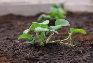 Plant De Fraise : fraise planter des fraisiers jardinage bio ~ Premium-room.com Idées de Décoration