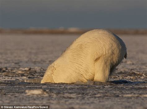 Polar Bear Beams With Delight As She Emerges From Freezing
