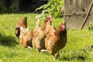 Comment Elever Des Poules : elever des poules pour embellir son jardin ~ Melissatoandfro.com Idées de Décoration