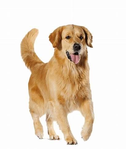 Golden Transparent Retriever Dog Retrievers Resolution