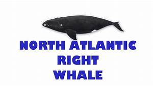 North Atlantic  Northern  Right Whale  Eubalaena Glacialis
