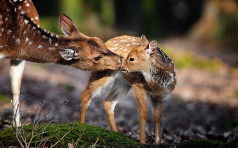 Nature, Animals, Deer, Baby Animals Wallpapers Hd