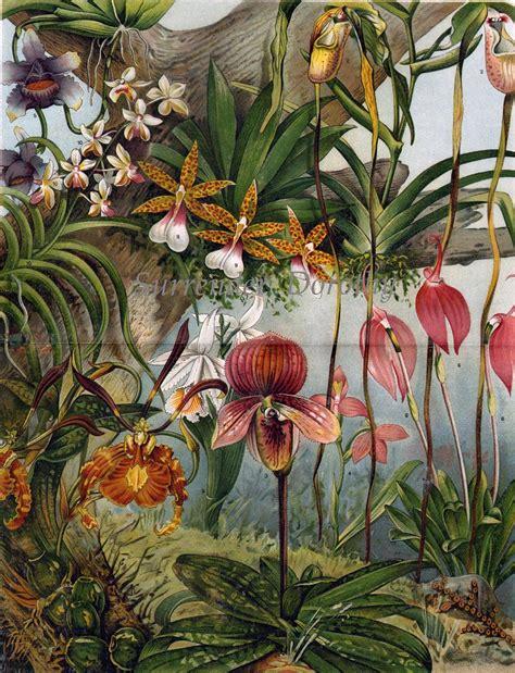 exotic orchid varieties victorian botanical chromolit