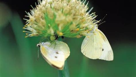 life cycle   cabbage white butterfly animals momme