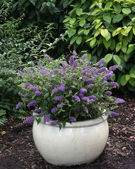 butterfly bush container gardening