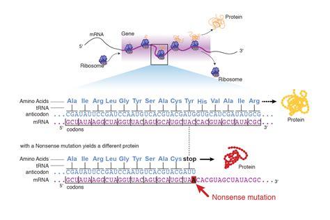 nonsense mutation talking glossary  genetic terms nhgri