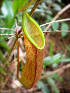 Pitcher Plants | 100 Uses for Muesli