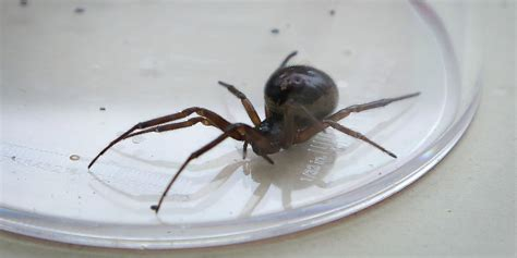 False Widow Spider Bite Death Could Be First Ever