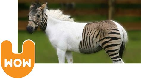 zebra horse horses hybrid zorse cross zebroid zebras between germany animals park safari paint zonkey