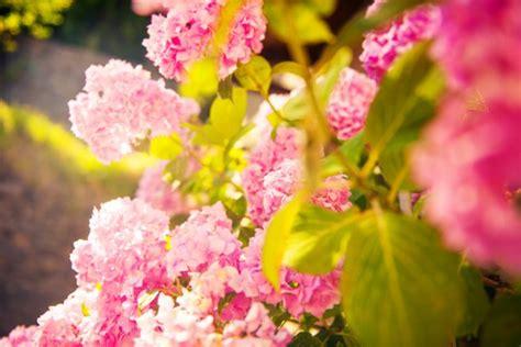 hortensien 187 pflanzen pflegen schneiden und mehr