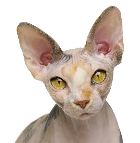About The Sphynx Cat  Cat Breeds Catloversdiarycom