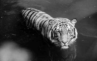 Tiger Wallpapers Mobile Tigers Theme Desktop Backgrounds
