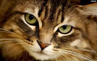 cat faces youwall cat wallpaper wallpaper wallpapers free