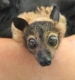 Flying Fox Bat Babies