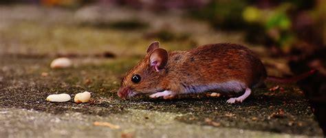 banco de imagens natureza doce rato animal fofa
