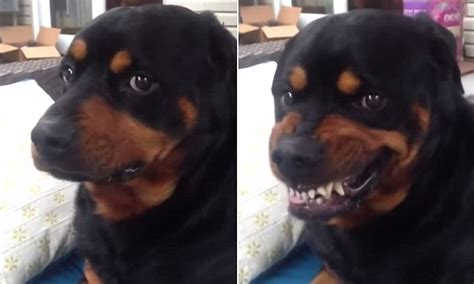 cute rottweiler turns vicious  command  hilarious