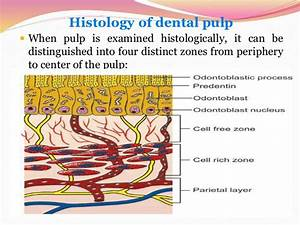 Histology And Physiology Of The Pulp