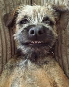 do border terriers shed best 20 border terrier ideas on border