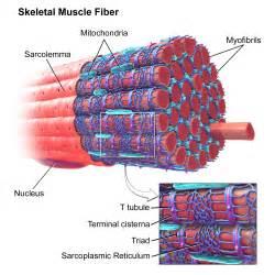 Skeletal Muscle Fiber Structure