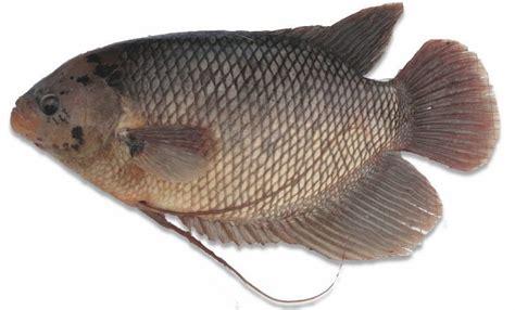 Bibit Ikan Gurame Salatiga budidaya ikan gurame serta tips pembibitan pemeliharaan