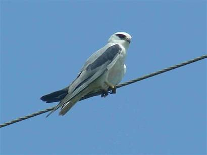 Kite Wire Sitting Winged Bird Wallpapers Birds
