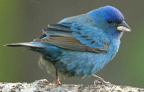 How To Attract Indigo Buntings To Your Backyard by Indigo Bunting Who Wouldn T Want An Indigo Bunting In