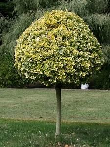 Zwergflieder Auf Stamm : chiara 39 s plants euonymus fortunei 39 emerald gaiety 39 and e ~ Lizthompson.info Haus und Dekorationen