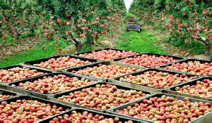 Pink Lady Apples | So much more than an apple