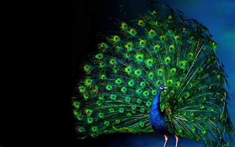 Animated Peacock Wallpapers - peacock luminous feathering wallpapers peacock luminous
