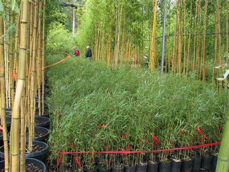 bamboo garden nj fargesia sp rufa