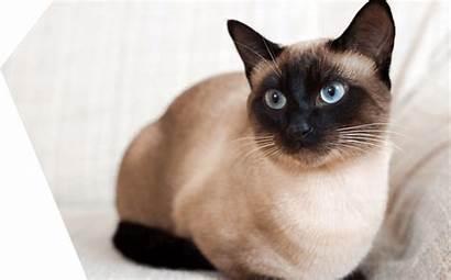 Siamese Cat Cats Siamois Gatto Gatos Chat