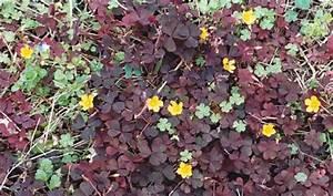 Roter Klee Im Rasen : roter klee war einmal eine sehr gro e plage im yucca ~ Lizthompson.info Haus und Dekorationen