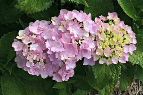 hydrangea flower care hometalk how to care for hydrangea